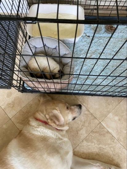 A labradora Truvy logo fez amizade com a gatinha. (Foto: Arquivo Pessoal/Kendal Benken)