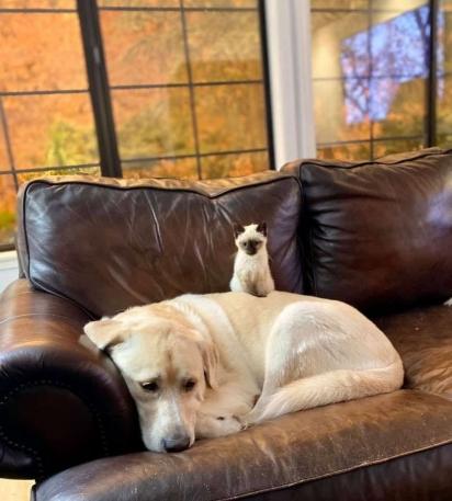 A labradora nem se importa com a gatinha Betty sentada nela. (Foto: Arquivo Pessoal/Kendal Benken)