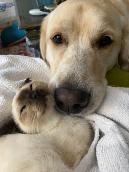 A labradora ajudou a gatinha a se tornar mais amigável. (Foto: Arquivo Pessoal/Roz Westil)