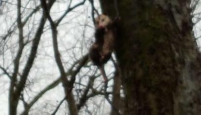 Os animais estavam subindo nas árvores na tentativa de fugir da enchente. (Foto: Arquivo Pessoal/Frankie Williams)