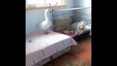 Ganso super protetor de olho nos cachorrinhos. (Foto: Reprodução/Viral Paws)