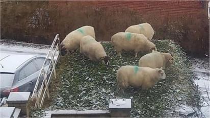 Mulher acorda pela manhã e encontra seis ovelhas 'socializando' em seu jardim.