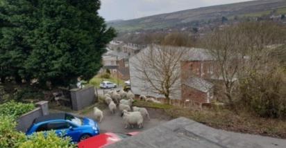 As ovelhas sempre estão vagando pela região de Whitworth, onde mora Ella, mas nunca tentaram entrar em nenhuma residência, geralmente ficam descendo as colinas e se alimentando.