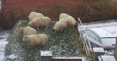 As ovelhas conseguiram pular mais de um metro de altura para alcançar o jardim da Ella Aldred.