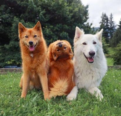 A cadelinha Kiko (no meio), da raça spitz finlandês com seus irmãos Kaya (à direita), da raça pastor suíço branco de 5 anos e Tofu (à esquerda), da raça spitz finlandesa de 1 ano e meio. (Foto: Instagram/kayatheshepherd)