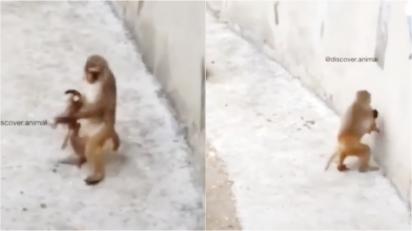 Mamãe macaca bate cabeça de filho na parede durante brincadeira e vira meme na internet.