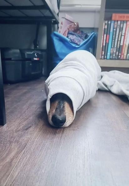 Roger adora se esconder em lugares confortáveis, antes era o cesto de roupa suja e agora é o suéter da sua dona.