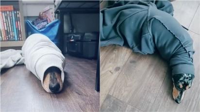 Cachorrinho que gosta de lugares confortáveis tenta vestir suéter da dona e fica preso na manga.