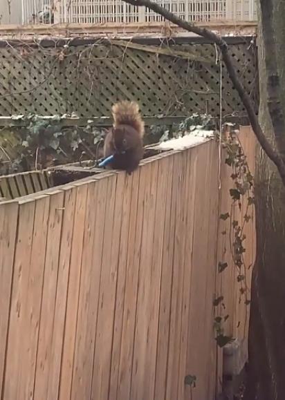 O esquilo aparentemente despreocupado começa a roer o cabo da faca.