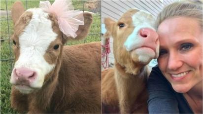 Vaca que perdeu tudo em furacão recebe 2ª chance de ser feliz ao ser adotada.