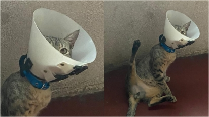Gatinho faz pose sensual para fazer curativos pós-cirúrgico.