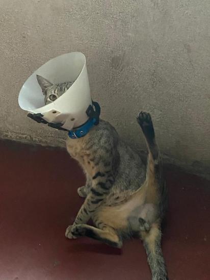 Posição que o gatinho fez quando a dona trocou o curativo.