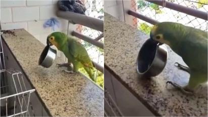 Vídeo de papagaio indignado fazendo 'panelaço' viraliza e faz o maior sucesso.