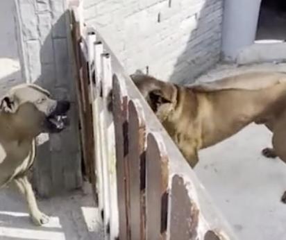 Os cães brigam ferozmente, mas quando o dono abre o portão se tranquilizam.