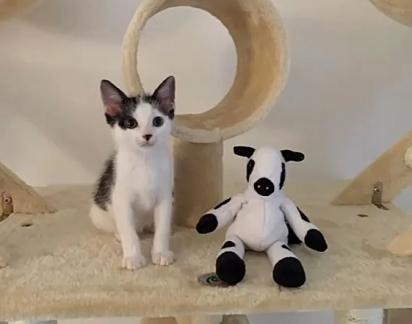 O gatinho Bo recebeu esse nome pelo fato dele gostar muito da vaquinha de pelúcia.