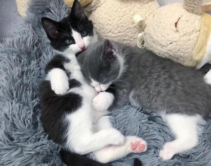 Os irmãos felinos são muito conectados que qualquer curto tempo longe um do outro parece uma eternidade para eles.