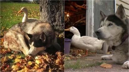 Pato e husky siberiano contrariam expectativas e são melhores amigos há anos.