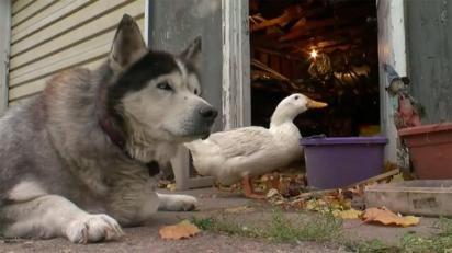 Max, o husky siberiano, e Quackers, o pato, são melhores amigos.