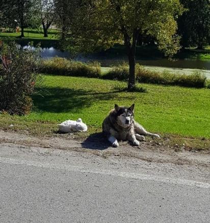 A amizade teve início quando a família adotou o pato Quackers, desde então o husky não sai do lado dele.