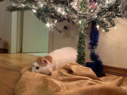 A gatinha Ginger ama ficar embaixo da árvore de Natal ou brincando com a decoração.