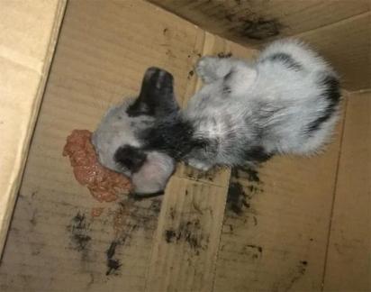 O gatinho foi encontrado em estado debilitado, necessitando urgentemente de ajuda.