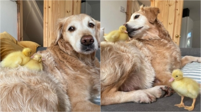 Cão golden retriever se torna o melhor pai ao adotar duas patinhas recém-nascidas.