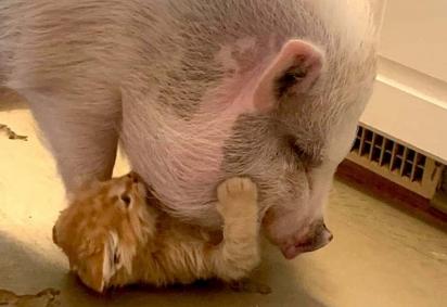 O porquinho Wilbur e o gatinho Billy formaram uma linda amizade.
