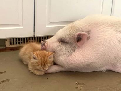 A estadia do porco era para ser temporária, mas a amizade de Wilbur e Billy está fazendo Jody repensar sobre o assunto.