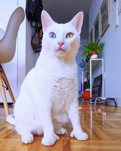 A gatinha Sansa foi rejeitada quando nasceu por ter olhos de cores diferentes e dedos extras.