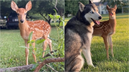 Cervo selvagem resgatado em estrada vira melhor amigo de dois cães huskies siberianos.