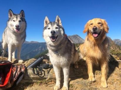 A golden retriever Zoey com os irmãos Nico e Jackson, da raça husky siberiano.