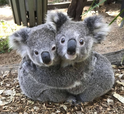 Os coalas abraçados no Australian Reptile Park em Somersby, Austrália.