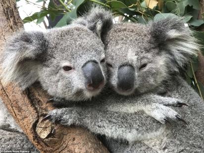 Um breve olhar de desprezo dos coalas ao guarda que interrompia o momento.