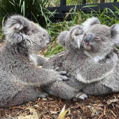 Um terceiro coala também quer e aguarda um abraço.