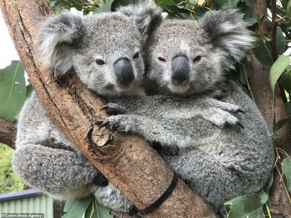 Um guarda florestal do Australian Reptile Park em Somersby, Austrália, registrou o momento.