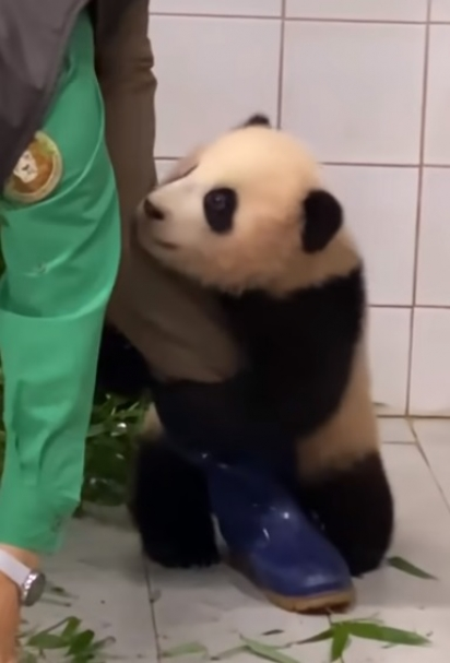 É muito fofinho o jeito que o filhote panda se agarra na perna do funcionário.