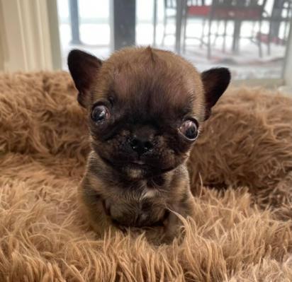 O cachorrinho Alfie tem oito semanas e possui algumas complicações de saúde, mas isso não o impede de ter uma vida feliz.