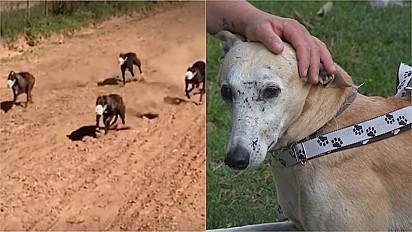 Repórteres descobrem esquema de corridas clandestinas envolvendo cães galgos no RS.