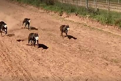 Os cães são usados para corridas e se tornam vítimas de maus-tratos e abandono