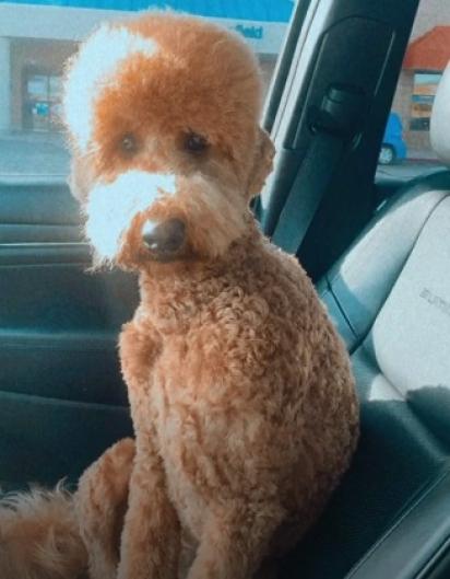A tosa foi necessária, pois o pelo da cachorrinha fica emaranhado facilmente.