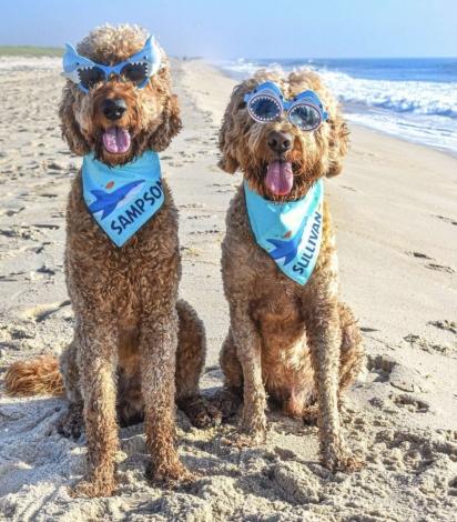 Os cães da raça goldendoodles, Sampson e Sullivan, adoram diversão.