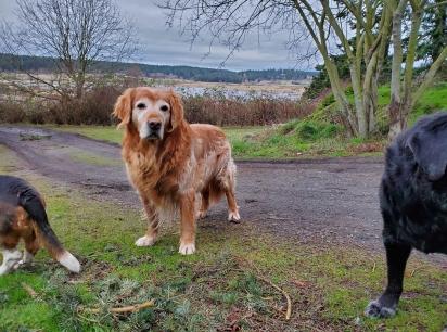 O golden retriever Sage é um cão idoso de 14 anos que ficou desaparecido por 5 dias.