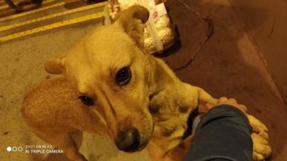 O cachorro vira-lata caramelo sempre vai ao encontro da vendedora ambulante lhe fazer companhia.