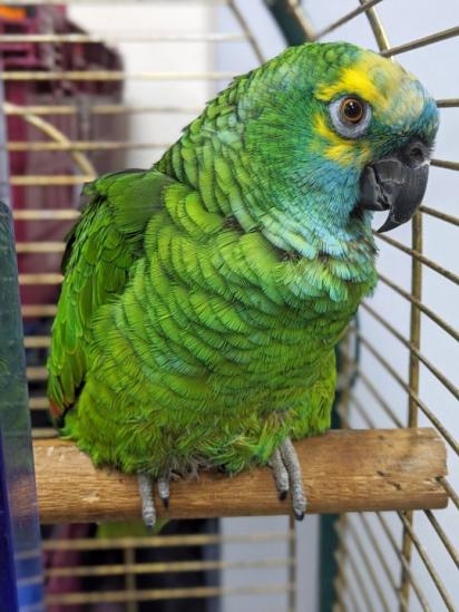 A papagaia se viciou em batata frita por causa do seus antigos donos.
