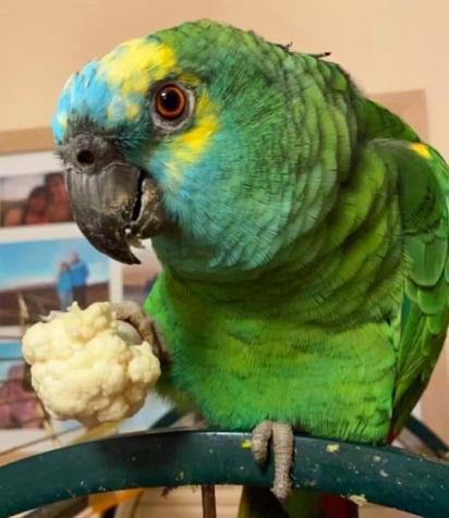 A papagaia tem sido mantida em uma dieta balanceada, nada de batata frita.