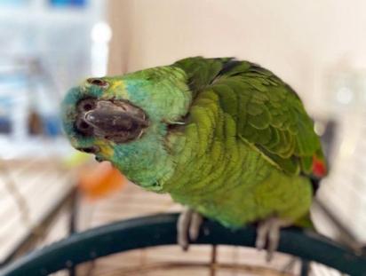 A papagaia Bud tem 22 anos e adora conversar com as pessoas.