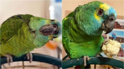 Papagaia engorda após comer muita batata frita e não consegue voar.