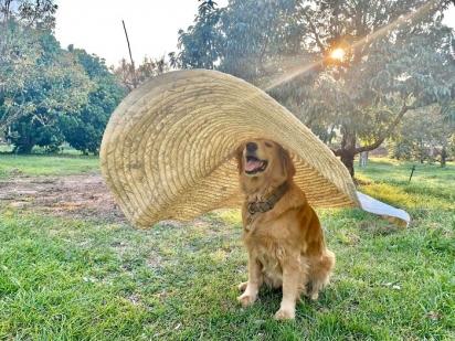 O golden retriever Jubjib, vive com a sua família na Tailândia e é dono de um dos sorrisos caninos mais adoráveis.