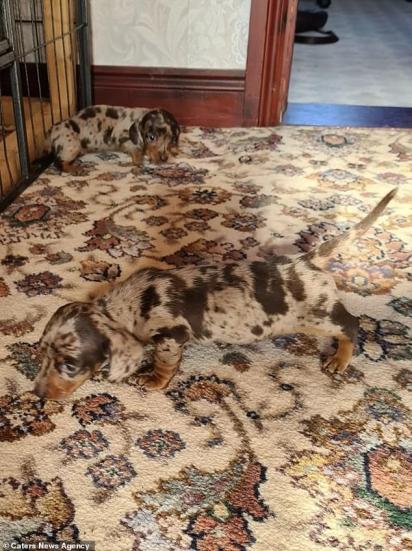 A pelagem do cachorro salsichinha combina perfeitamente com o tapete antigo.