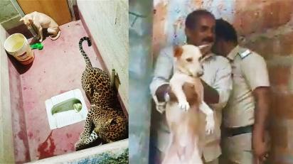 Leopardo persegue cachorro e ambos ficam presos em banheiro.